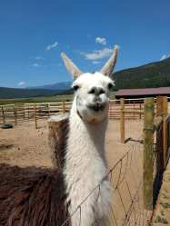 Xena, the llama at Victory Ranch